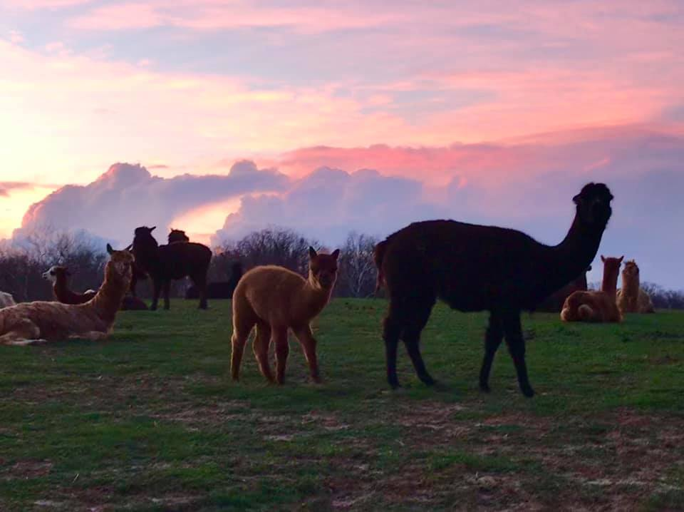 Alpacas of Troy uses our spent grains to feed many of their animals.